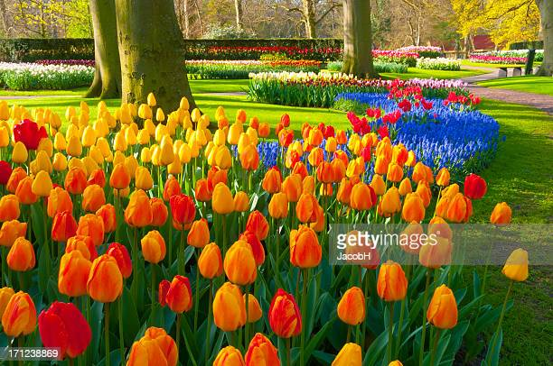 spring flowers in a park - keukenhof gardens stock pictures, royalty-free photos & images