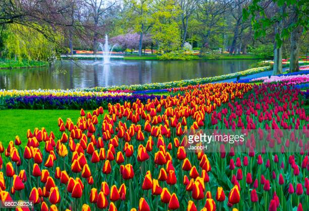 spring flowers in a park. - keukenhof gardens stock pictures, royalty-free photos & images