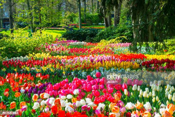 spring flowers in a park - tulips and daffodils stock pictures, royalty-free photos & images