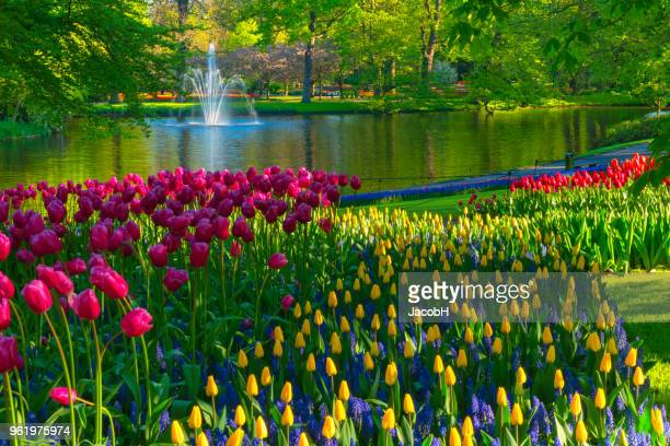 spring flowers in a park - netherlands stock pictures, royalty-free photos & images