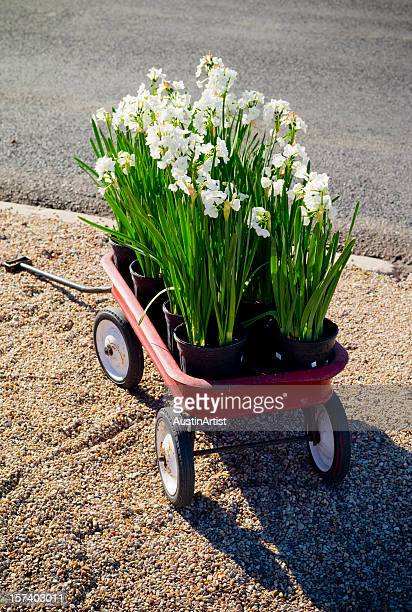 spring flowers in a red wagon - toy wagon stock photos and pictures