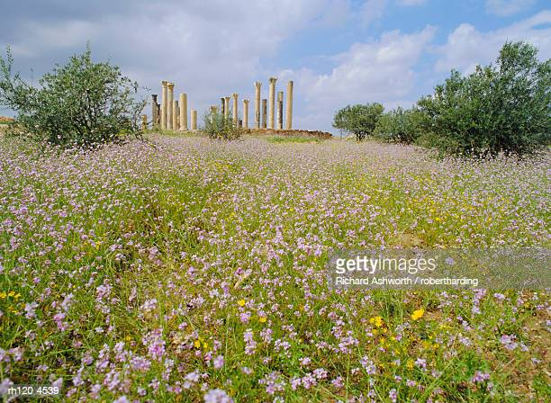 Spring flowers in foreground and columns of the 7th/8th century basilica at ancient Abila, a city of the Roman 'Decapolis', north of Irbid, Jordan