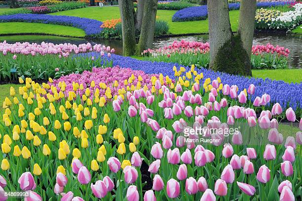 spring flowers in formal garden, tulips. - keukenhof gardens stock pictures, royalty-free photos & images