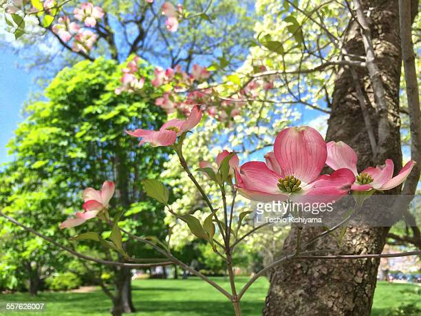 spring flowers in washington, dc - dogwood blossom stock pictures, royalty-free photos & images