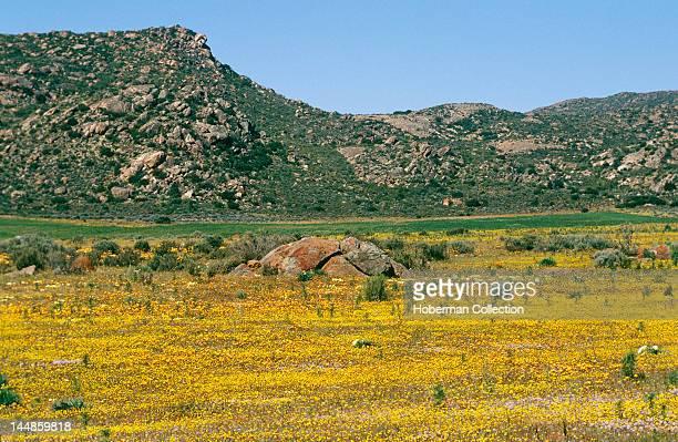 Spring Flowers, Namaqualand, West Coast, South Africa