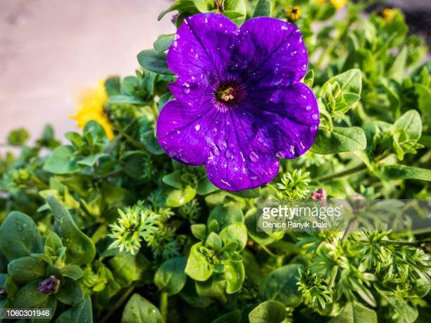 spring flowers - panyik-dale stock photos and pictures