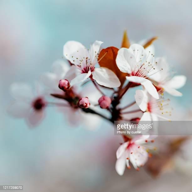 spring flowers - almendro fotografías e imágenes de stock