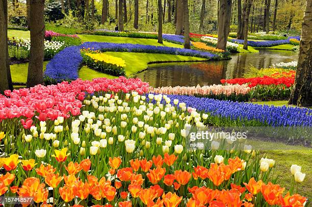 spring flowers - keukenhof gardens stock pictures, royalty-free photos & images