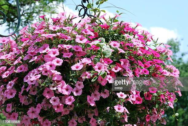 spring flowers - hanging basket stock pictures, royalty-free photos & images