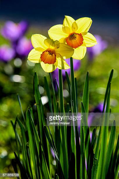 spring flowers - daffodils stock pictures, royalty-free photos & images