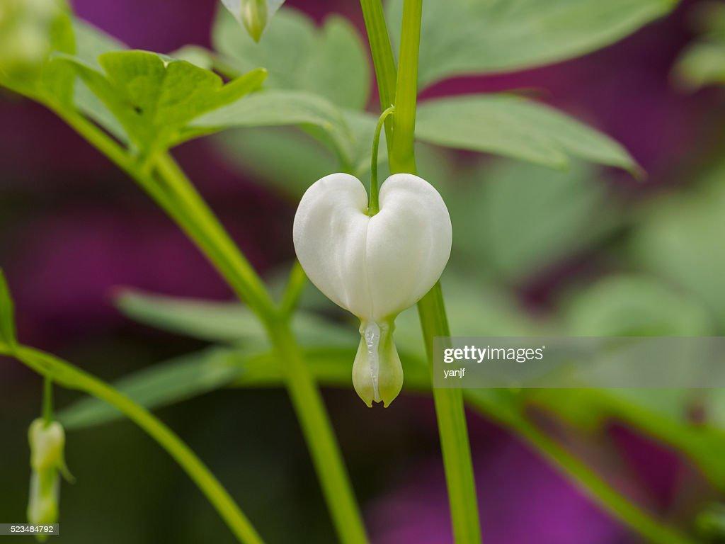 Spring Flowers Series White Bleeding Heart Flower Stock Photo