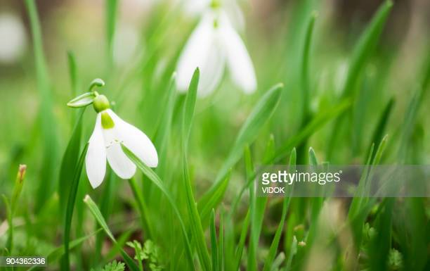 spring flowers - snowdrops. beautifully blooming. selective focus. - march month stock pictures, royalty-free photos & images