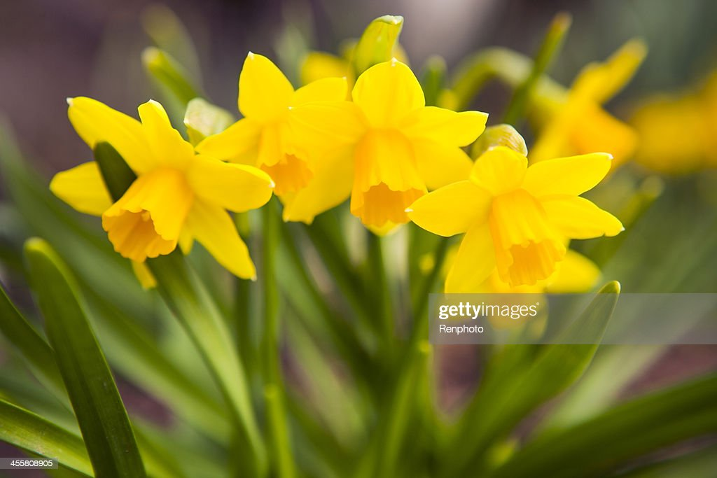 Spring Flowers: Yellow Daffodils : Stock Photo