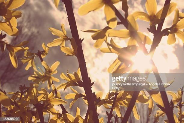 Spring forsythia bush in sun