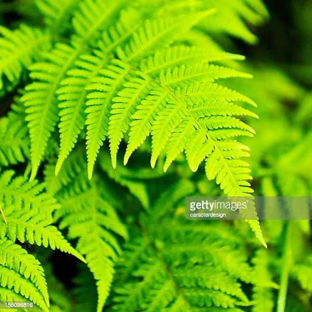 Spring: fresh fern leaves