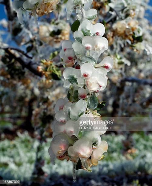 Spring frost on apple tree flowers TrentinoAlto Adige region Italy