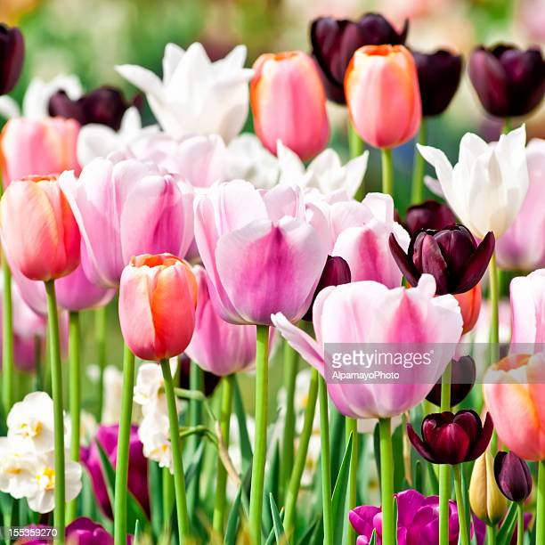 spring garden: tulips, daffodils, muscari flowers - ii - hedonism ii stock photos and pictures