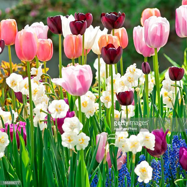 spring garden: tulips, daffodils, muscari flowers - viii - tulips and daffodils stock pictures, royalty-free photos & images