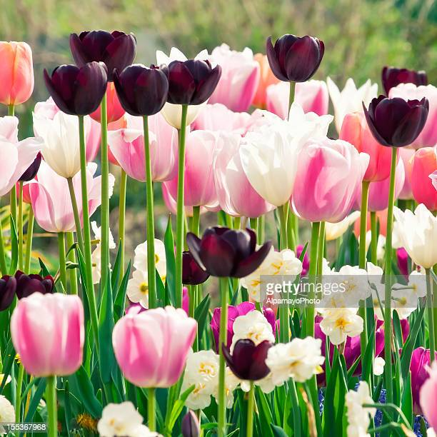 spring garden: tulips, daffodils, muscari flowers - xii - tulips and daffodils stock pictures, royalty-free photos & images