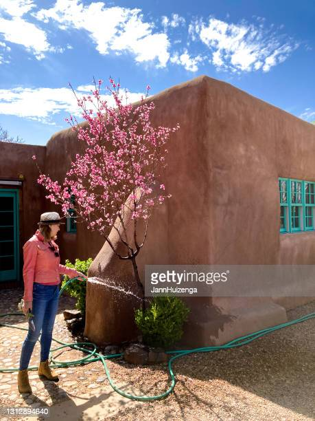 spring gardening: woman watering fruit tree in bloom - adobe stock pictures, royalty-free photos & images