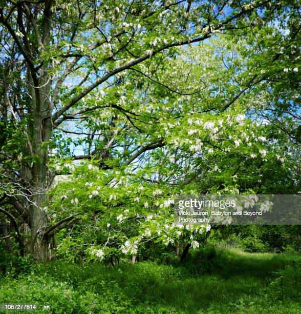 spring greens at caumsett state park, long island, ny - huntington suffolk county new york state stock pictures, royalty-free photos & images