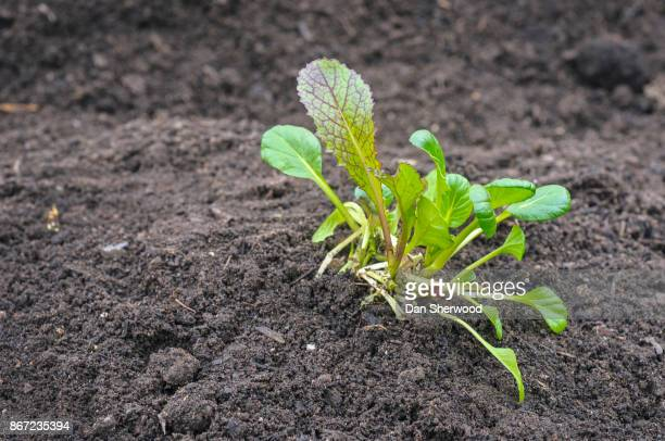 spring greens in fresh garden soil - portland, oregon - dan sherwood photography stock pictures, royalty-free photos & images