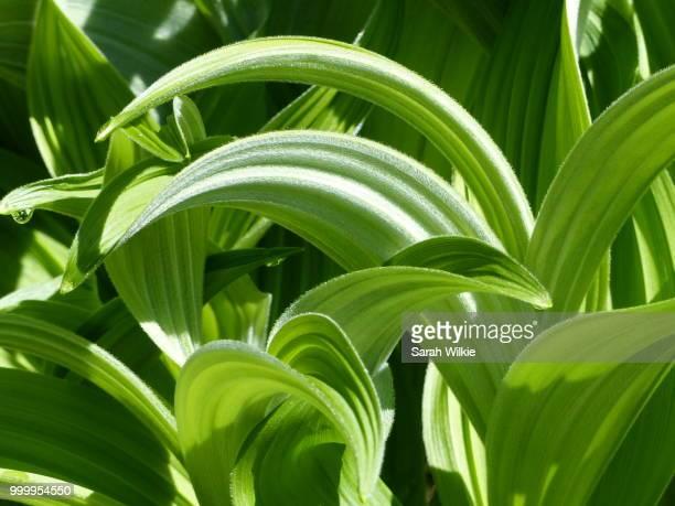 spring greens - バイケイソウ ストックフォトと画像