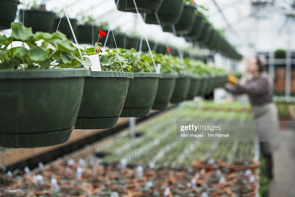 Spring Growth In An Organic Plant Nursery A Glhouse With Hanging Baskets And Seedlings