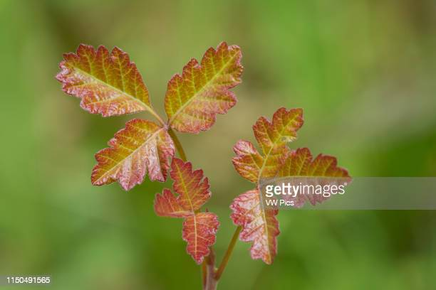 Spring growth leaves of Poison Oak at Mount Pisgah Arboretum Willamette Valley Oregon