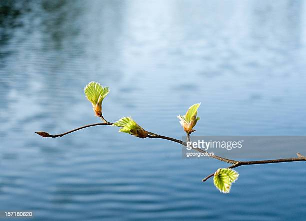 spring growth over water - bud stock pictures, royalty-free photos & images