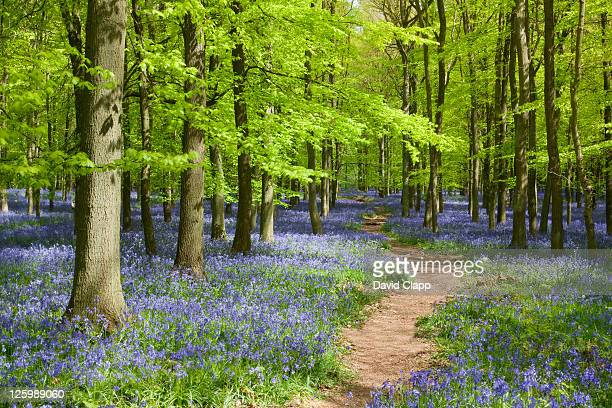 spring in bluebell (hyacinthoides non-scripta) woodland in buckinghamshire, england, uk - bluebell stock pictures, royalty-free photos & images