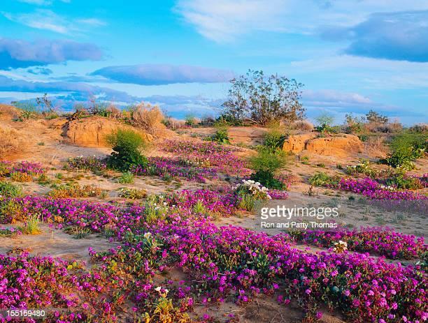 primavera en california desert (p - desierto sonorano fotografías e imágenes de stock
