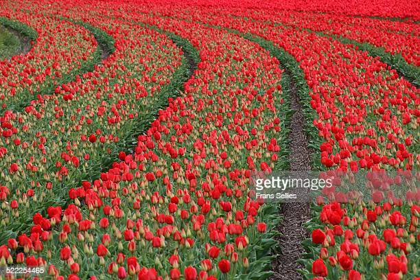 spring in holland, field of red tulips - frans sellies stock pictures, royalty-free photos & images