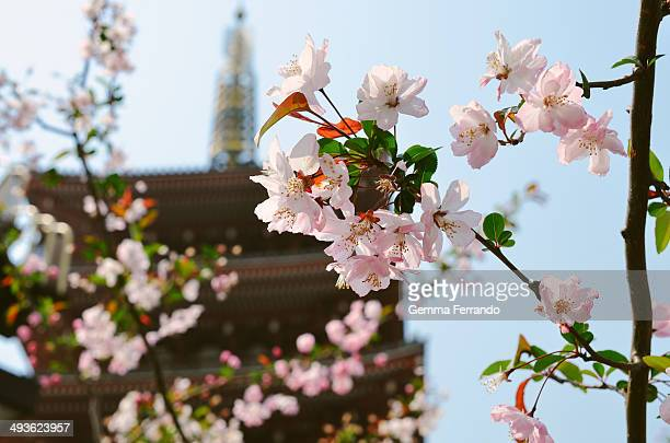 Spring in Japan. Sakura in Senso-ji an ancient Buddhist temple located in Asakusa, Taito, Tokyo, Japan. It is Tokyo's oldest temple, and one of its...