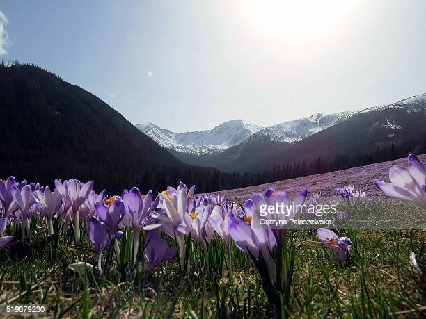 spring in the dolina chocho��owska, tatra mountains, poland - chocho fotografías e imágenes de stock