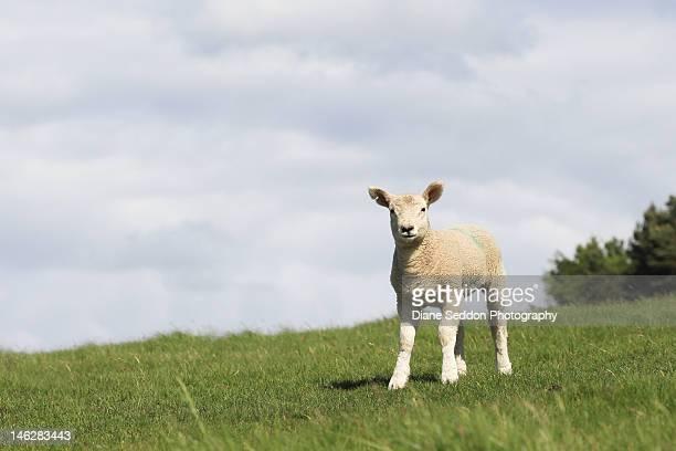 Spring Lamb in field