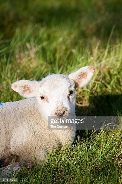 Spring lamb in the grass Cotswolds Oxfordshire United Kingdom UK
