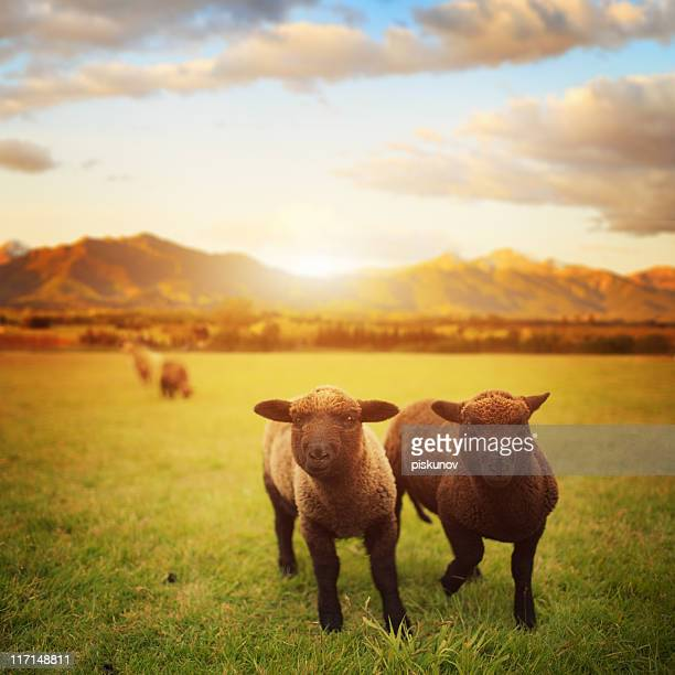 Spring Lamb, New Zealand meadow