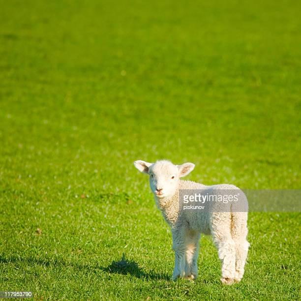 primavera prato agnello, nuova zelanda - agnellino foto e immagini stock