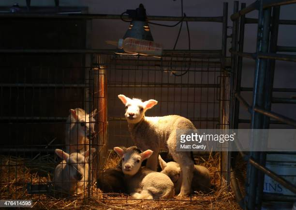 Spring lambs belonging to Somerset farmer Ian Merry looks out from under a heat lamp in their enclosure in a building at the Bath and West Showground...