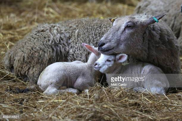 Spring lambs belonging to Somerset farmer Ian Merry sleep beside their mother in their enclosure in a building at the Bath and West Showground near...