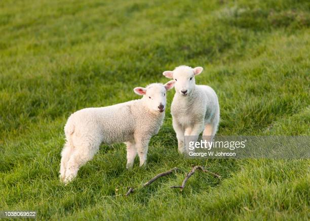 spring lambs ii - 子羊 ストックフォトと画像