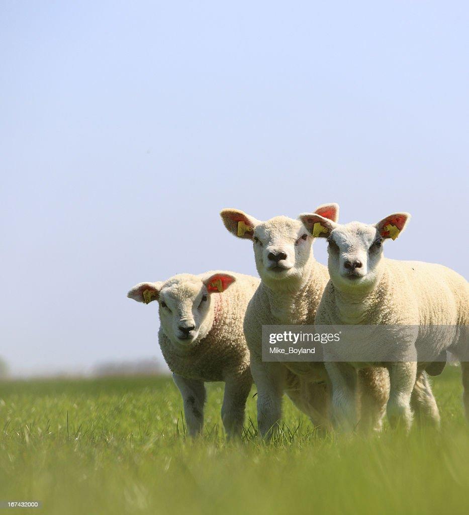 Spring lambs : Stock Photo