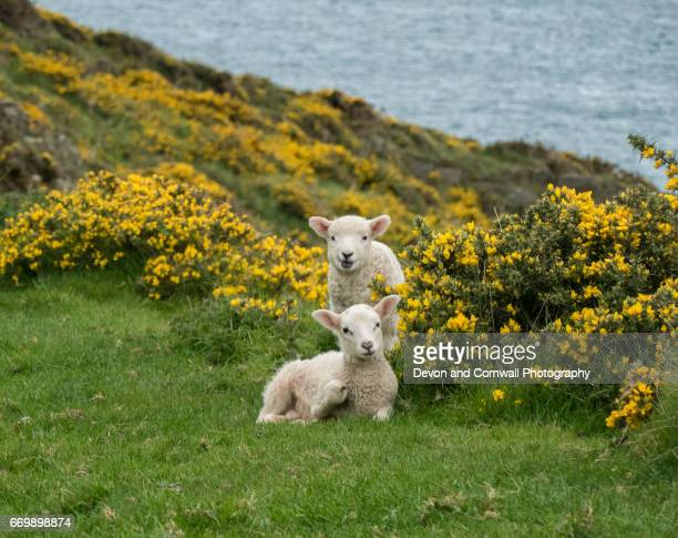 spring lambs - lamb animal stock photos and pictures