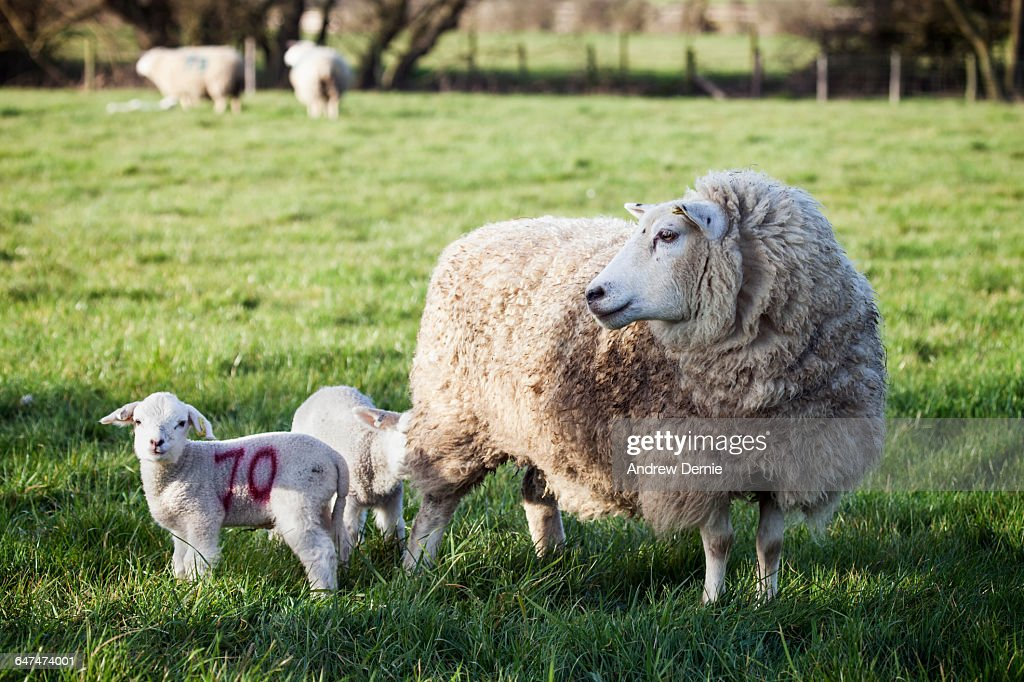 Spring Lambs UK : Stock Photo