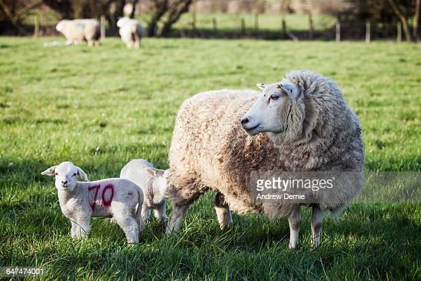 Spring Lambs UK