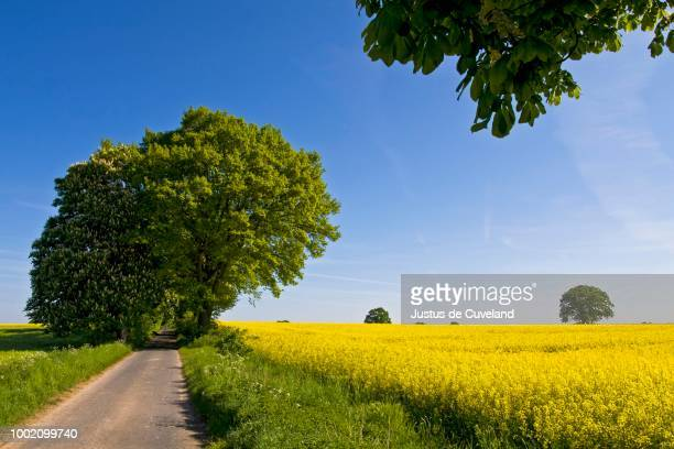 Spring landscape in Schleswig-Holstein with yellow rape fields (Brassica napus) and an avenue of Horse-chestnut or Conker trees (Aesculus hippocastanum) and English oak (Quercus robur), Herzogtum Lauenburg, Schleswig-Holstein, Germany