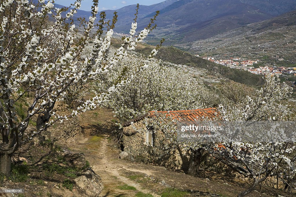 Spring landscape in the Jerte Valley. : Stock Photo