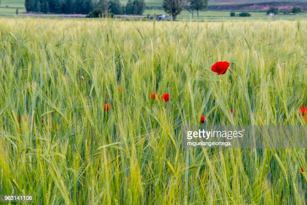 Spring landscape with cereal plants and poppies