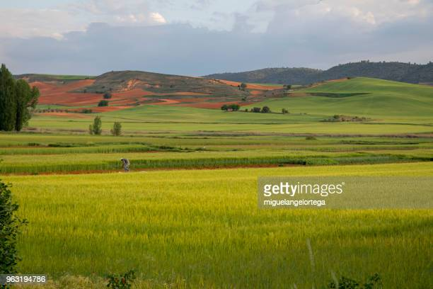 Spring landscape with cereal plants